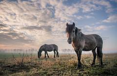 First acquaintance II (Ingeborg Ruyken) Tags: ochtend morning horses 500pxs empel maart paarden empelfilmpjewinter2018 dawn kanaalpark winter natuurfotografie dropbox koniks flickr march