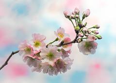 Cherry Blossom (Roniyo888) Tags: sakura cherry blossom prunus flower pink white