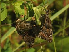 Carcharodus alceae (in copula) - Mallow skipper (mating) - Толстоголовка большая мальвовая (спаривание) (Cossus) Tags: 2013 carcharodus hesperiidae pyrginae спаривание mating толстоголовка skipper володарка