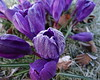 Frosty Crocus (Ian Robin Jackson) Tags: crocus frost scotland flora nature purple aberdeen sony zeiss patterns flowers 2018 march