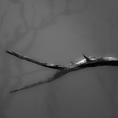 On River Waters 021 (noahbw) Tags: captaindanielwrightwoods d5000 desplainesriver dof nikon abstract blackwhite blackandwhite branches bw depthoffield forest landscape minimal minimalism monochrome natural noahbw quiet reflection river square still stillness trees water winter woods onriverwaters