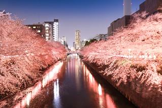 SAKURA of Meguro River