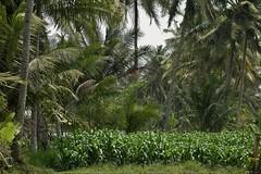 """INDONESIEN, Java, Besuch im Dorf Somokerto, 17283/9810 (roba66) Tags: reisen travel explorevoyages urlaub visit roba66 asien südostasien asia eartasia """"southeastasia"""" indonesien indonesia """"republikindonesien"""" """"republicofindonesia"""" indonesiearchipelago inselstaat java somokorto dorf urig landwirtschaft rural palmen trees"""