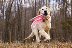 13/52  The Easter 'Ben'ny (Pyper Pup) Tags: 52weeksfordogs ben goldenretrieve easter bunnyears
