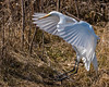 Lift Off... (ragtops2000) Tags: nature migrator greategret wings flight lift colorful water exciting contrast nice
