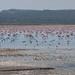 Flamingos at the Abijata-Shalla Lakes National Park, Ethiopia