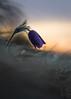 Küchenschelle (Andreas Lesch) Tags: pulsatilla vulgaris küchen küchenschelle makro makrofotografie natur nature wiese meadow spring frühling flower sunset sonnenuntergang nahaufn nahaufnahme canon stativ