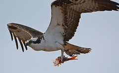 Osprey (JDA-Wildlife) Tags: birds birdsofprey raptors osprey nikon nikond7100 tamronsp150600mmf563divc jdawildlife johnny closeup whatbirdbestofday wow