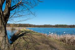 Kleiner Bischofsweiher - Baum und Schwäne 6197 (Peter Goll thx for +11.000.000 views) Tags: 2018 dechsendorf kleinerbischofsweiher natur erlangen germany swan lake pond d750 nikon nikkor weiher see tree water wasser