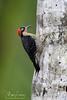 Woodpecker (Megan Lorenz) Tags: blackcheekedwoodpecker woodpecker bird avian rainforest nature wildlife wild wildanimals travel 2016 costarica mlorenz meganlorenz