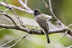 Male Yellow-bellied Seedeater (Sporophila nigricollis) (Frank Shufelt) Tags: yellowbelliedseedeater sporophilanigricollis male seedeaters passeriformes songbirds aves birds nature wildlife urban suburban rural mountains ensueño circasia quindío colombia southamerica march2018 20180302 0266