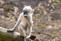 Young one thinking about life (Photography by Martijn Aalbers) Tags: hanumanlangur hanumanlangoer monkey ape beast animal mammal aap beest dier life leven zoo dierentuin park parc nature natuur deapenheul apeldoorn gelderland guelders canoneos77d ef70200mmf4lisusm wwwgevoeligeplatennl