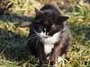 Kater Felix (arjuna_zbycho) Tags: felix blackcat tuxedo tuxedocat kater hauskatze cat animal cute animals pets gato kitten feline kitty kittens pet tier haustier katzen gattini gatto chat cats kocio