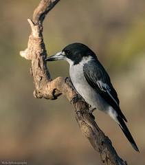 Grey Butcherbird (Mykel46) Tags: grey butcherbird nature wildlife sony a9 100400mm outside
