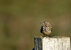 Meadow pipit (Jaedde & Sis) Tags: engpiber meadowpipit anthuspratensis denmark pole post perched thirds challengefactorywinner thechallengefactory 15challengeswinner tredive friendlychallenges