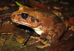 Cogger's Barred Frog (Mixophyes coggeri) (Heleioporus) Tags: coggers barred frog mixophyes coggeri wet tropics queensland
