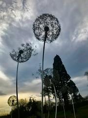 Dandelion clocks: what's the time Mr Wolf? (valerie C bayley) Tags: staffordshire park gardens lake water dandelion sky winter trentham iphonenatureplacestovisit iphone7plus