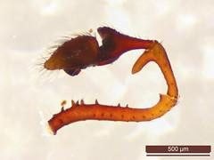 Erigone atra (dhobern) Tags: 2018 araneae denmark erigoneatra europe linyphiidae march søborg utterslevmose