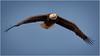 just cruising (marneejill) Tags: adult bald eagle flight wingspan gliding parksville