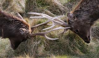Sika Deer at Arne - Dorset 080318 (9)