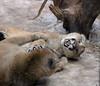 Pumas playing3 (Daniel Hemingsen) Tags: animal puma playing frolicking