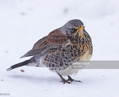 Fieldfare (Gary Chalker, Thanks for over 3,000,000. views) Tags: fieldfare bird pentax pentaxk3ii k3ii pentaxfa600mmf4edif fa600mmf4edif fa600mm 600mm