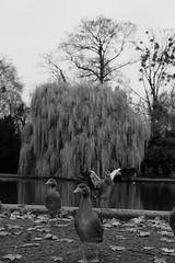 hello. what are you looking at? (cap.) Tags: birds park blackwhite blackandwhite schwarzweis pont autumn tree