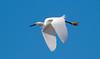 Snowy Egret (Egretta thula); Ft. Meyers, FL, Sanibel Island, Ding Darling NWR [Lou Feltz] (deserttoad) Tags: bird wildbird wader egret wildlife nature water park florida flight refuge behavior