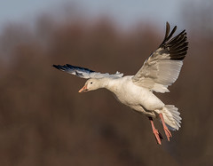 Snow Goose (Brian_Harris_Photography) Tags: snow goose white black waterfowl winter migration orange hiking middle creek wildlife management tree exposure portrait pennsylvania park sunlight sunshine swamp pink lens light