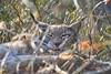 Luchs (DanGrothe) Tags: wildpark wildgehege bilsteintal warstein nrw luchs katze europäische raubkatze