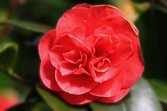 Camellia (colin_g2011) Tags: camellia canon70d sigma105mmmacro park stanley gosport