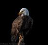 Dream Big (Susan Newgewirtz) Tags: nikon d850 raptor americanbaldeagle outdoor ontario eagle bird worldsbestnikonshots