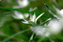 Dame de onze heures. (jpto_55) Tags: damedeonzeheures fleur macro bokeh xe1 fuji fujifilm omlens om85mmf2 hautegaronne france ngc