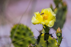 Prickly Pear Cactus Flower (hetrickwesley) Tags: 80d canon florida floridastateparks gulfofmexico honeymoonisland honeymoonislandstatepark nature outdoors statepark wildlife flower cactus insect bug