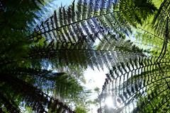 Styx Valley (Wintrmute) Tags: styx tasmania australia au fern ferns