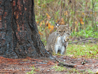 2018-03-19 P1166524 Bobcat with unlucky squirrel [Explored]