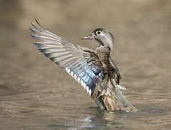 female Wood Duck (Mawrter) Tags: woodduck duck female flap flapping wing wings stretch brown blue feathers motion action profile animal nature wild wildlife outdoors afternoon canon avian bird birding birds oneanimal onebird one alone specanimal