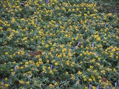 Winterlinge im Lübecker Stadtpark , NGID478266316 (naturgucker.de) Tags: ngid478266316 naturguckerde winterlingeranthishyemalis lübeckstadtpark cwolfgangkatz