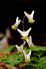 Dutchman's Breeches (MarcusDC) Tags: dutchmansbreeches cedarsinktrail mammothcavenationalpark wildflowers kentucky hiking forest