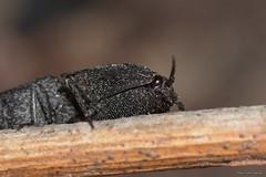 Lacon punctatus (Herbst, 1779) (Jesús Tizón Taracido) Tags: insecta coleoptera polyphaga elateriformia elateroidea elateridae agrypninae agrypnini laconpunctatus