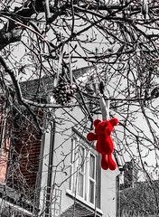 Teddy in a tree. 85/365 (jenwuk) Tags: 85365 blackandwhite red selectivecolour selective teddyinatree teddy tree