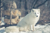Artic Fox (Jean-Philippe Parisella) Tags: frozen cold ice snow white frost outdoors daytime fluffy fur adorable cute majestic magnificent artic fox polar wildlife wilderness canada quebec montreal sunlight nature naturallight