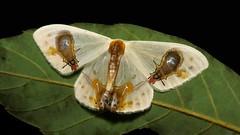 """Flies-On-Bird-Poop"" Moth (Macrocilix maia, Drepaninae, Drepanidae) (John Horstman (itchydogimages, SINOBUG)) Tags: insect macro china yunnan itchydogimages sinobug entomology moth lepidoptera drepanidae topf25 top"
