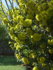 Xanthostemon chrysanthus in flower (tanetahi) Tags: australian native queensland xanthostemon xanthostemonchrysanthus goldenpenda myrtaceae