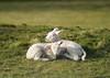 """First Signs Of Spring"" (Liam60009) Tags: yorkshiredales yorkshire lamb lambs sheep grass field fields farm farms sun spring springtime sony sonya7rii a7rii"