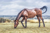 Chestnut Horse (AnthonyCNeill) Tags: horse caballo pferd color colour cheval outdoor countryside animal equine equestrian