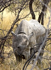 Rhinoceros, Etosha National Park, Namibia (susiefleckney) Tags: etoshanationalpark namibia hooklippedrhinoceros blackrhinoceros dicerosbicornusbicornus rhinoceros africa westafrica