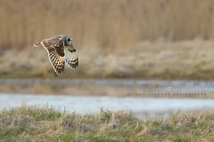 short-eared owl (senn_b) Tags: asioflammeus uitkerksepolder hiboudesmarais bird belgium belgien belgië belgique vlaanderen canonef400mmf4doisiiusm velduil marsh