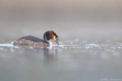 great crested grebe (Mike Mckenzie8) Tags: wild bird fish lake stickleback podiceps cristatus