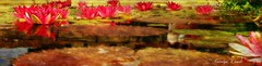Pond of Lilies (socalgal_64) Tags: carolynlandi socal california nature plant stem petal flowers water pond lily lilypond leaves leaf blooms colorful texture texturebyipiccy sanjuancapistranoca sanjuancapistrano scenic usa waterlilies waterlily reflections lilypad pano panorama monetinspired coth5